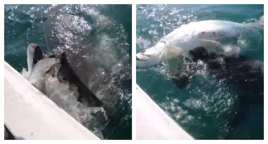 Акула, отнявшая улов у рыбака, попала на видео