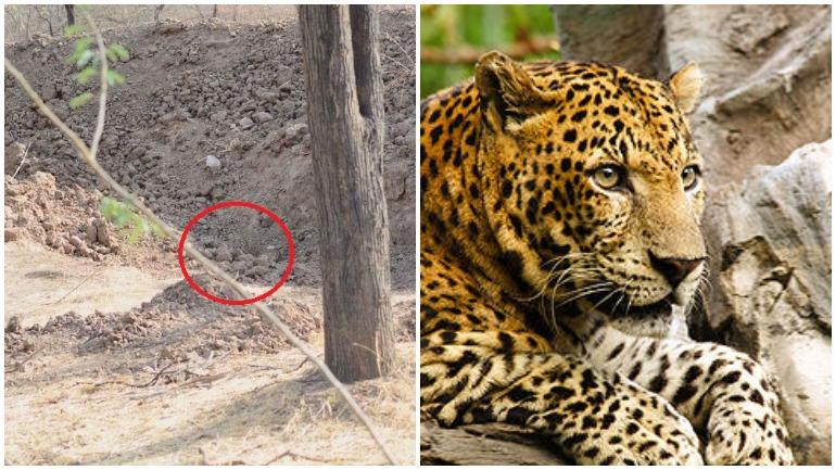Леопард на картинке где