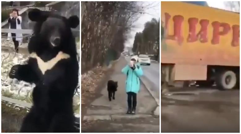 Незаконно размещённый в Бодайбо цирк-шапито привязал медведя на улице