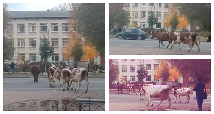 В Тихвине стадо коров мешало движению автомобилей