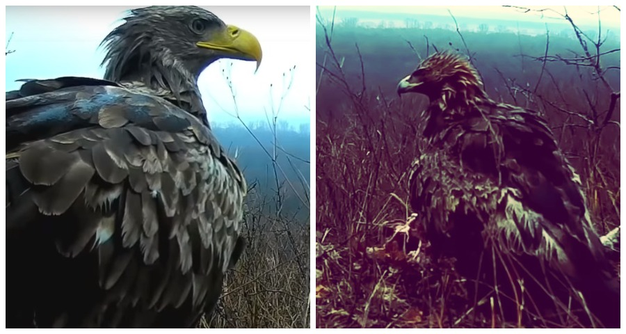В Башкирию прилетели редкие крупные хищные птицы
