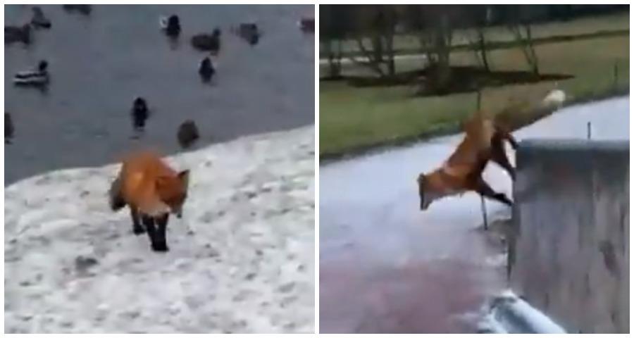 В Гатчине была снята на видео охота лисицы на уток
