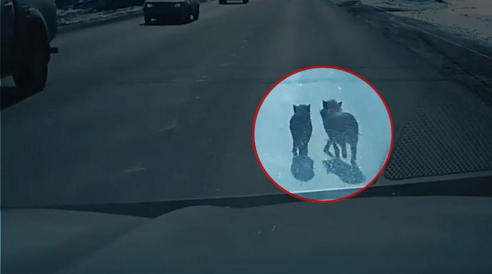 Побег из свинарника: смешное видео сняли на улицах Магнитогорска