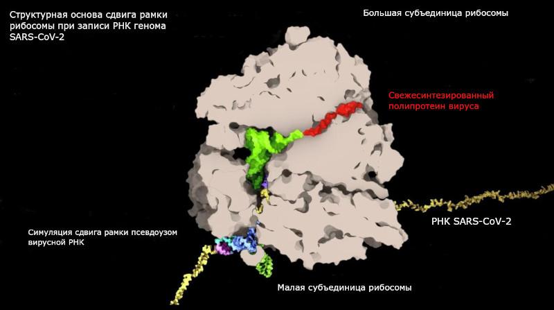 Ученые выявили критическую уязвимость коронавируса