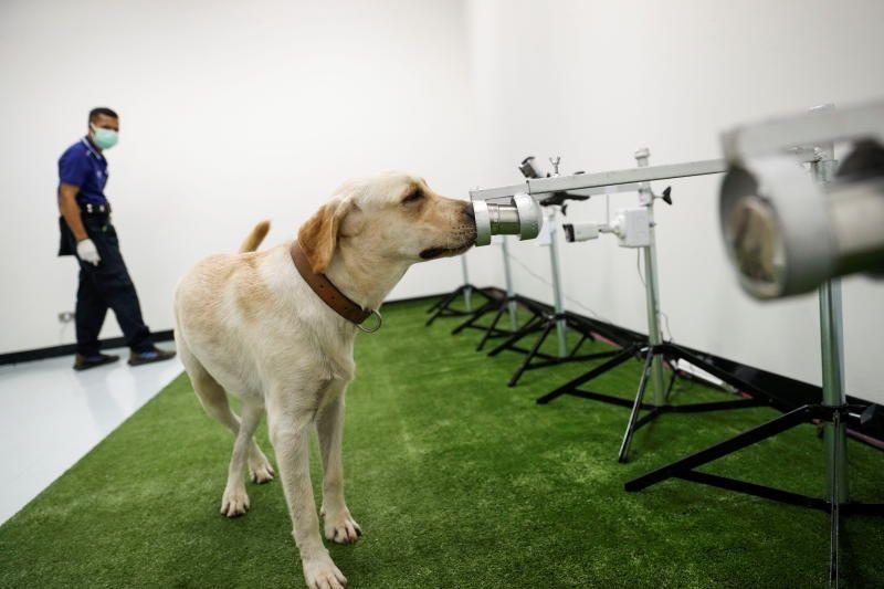 Вынюхивающие Covid-19 собаки эффективны, но повсеместно использовать их не получится