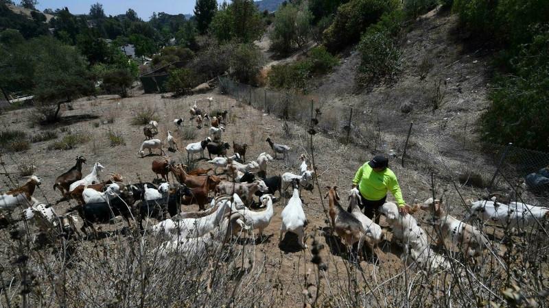 Неочевидные союзники в борьбе с лесными пожарами Калифорнии